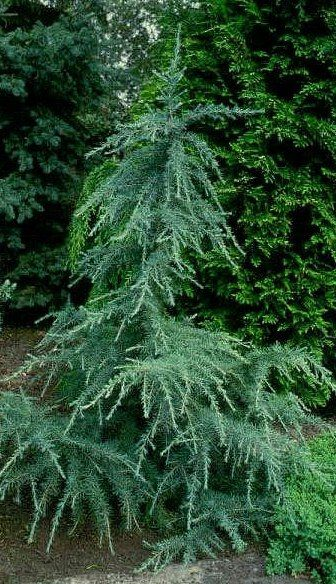 Cedrus deodara 'Karl Fuchs'. Karl Fuchs Himalayan Cedar. Zone 6-11. Evergreen. Partial to full sun. Grows 12-15 ft tall and 4 ft wide in 10 yrs.