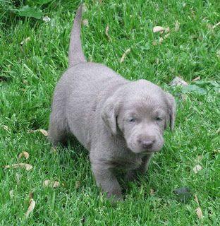 Matron's Dogblog: Silver Labradors - The Truth