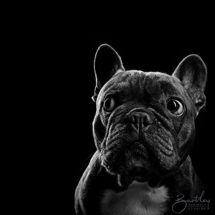 französische bulldogge schwarz weiß welpen