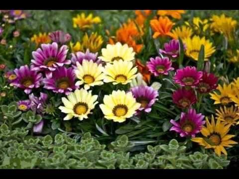 Гацания Цветы Многолетники Выращивание из семян - YouTube