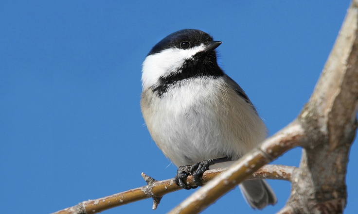 Black-capped Chickadee, Maine State Bird   Maine ...