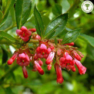 Escallonia rubra macrantha hedge plants | Red Escallonia hedging