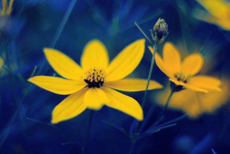 #Żółte #kwiaty to idealny sposób na wprowadzenie odrobiny #słońca do #wnętrza naszego #domu. Ten #kolor zawsze dodaje #energii i potrafi poprawić nastrój nawet w najbardziej deszczowe i ponure dni.   Taki obraz może zawisnąć na Twojej ścianie i również Tobie rozświetlić dzień: https://fedkolor.pl/glowna/2090-zolte-kwiaty.html  #obrazy #fotoobrazy #fototapety #reprodukcje #wystrój #wnętrze #aranżacja #salon #sypialnia #barwy #kolory #tryptyk