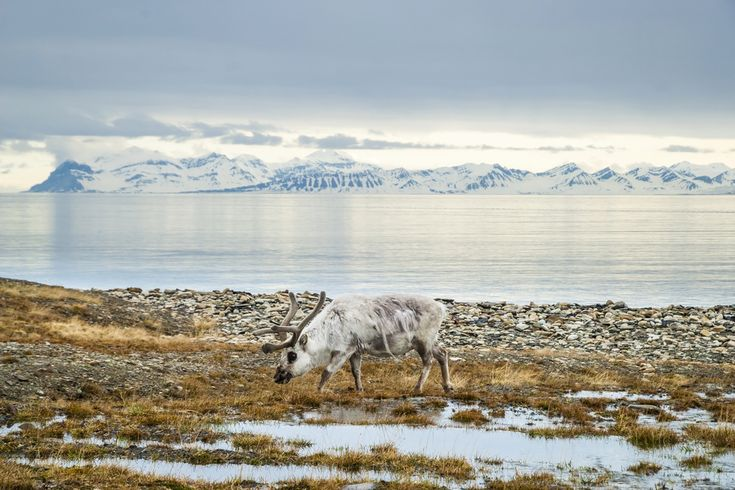 Reindeer in Svalbard, Arctic.