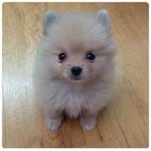 Most Noticeable Pomeranian for Sale Singapore
