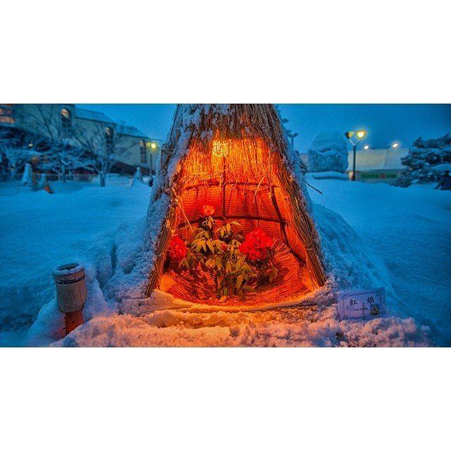 Instagram【finfin38】さんの写真をピンしています。 《構図が難しいデス。 #flower#snow#peony#lightup#nightview#japan#yamagata#takahata#event#花#ぼたん#牡丹#山形#高畠#高畠冬咲きぼたん祭り#ぼたんまつり#夜景#ライトアップ#雪月花#雪#風景#landscape#ファインダー越しの私の世界#冬景#picture#shot》