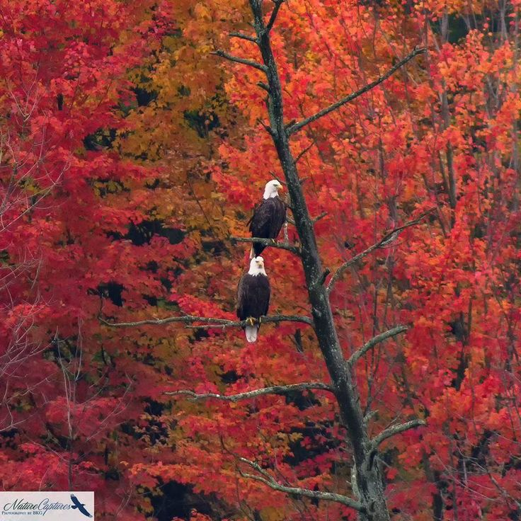 Majestic Eagles juxtaposed against the backdrop of the north east brilliant red foliage of fall.. (Photo credit: Brian Garwick)