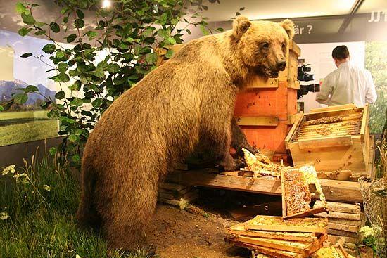 Braunbär Bruno alias JJ1 am Bienenstock im Museum Mensch und Natur, München (Foto: MartiN Schmitz)