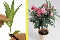Így szaporítsd a leandert - 1 ágból egy egész cserép virágod lehet!