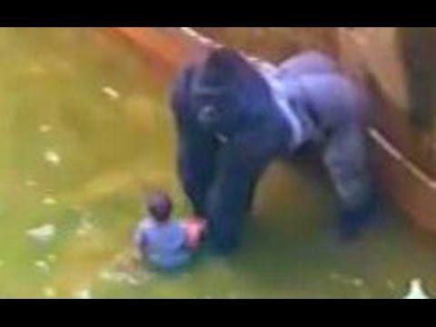 Le gorille Harambe devait-il être abattu?