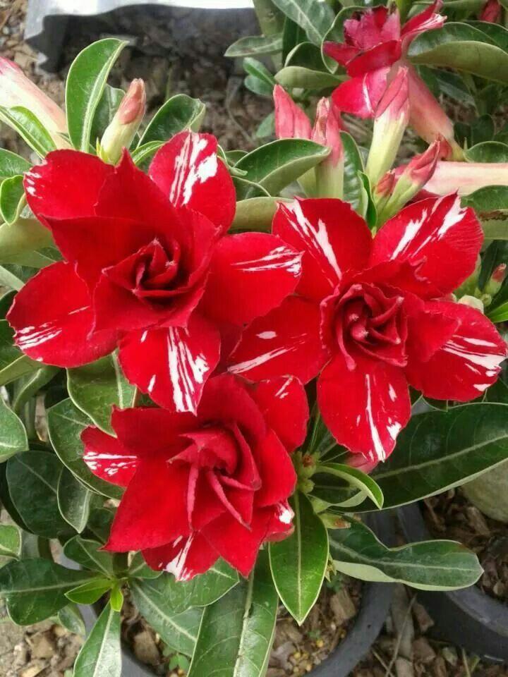 Desert Rose: Adenium obesum 'Vietnam Lucky' [Family: Apocyanaceae]