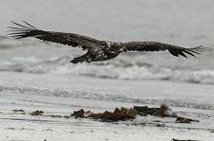 Juvenile bald eagle in flight....2 of 2 in set