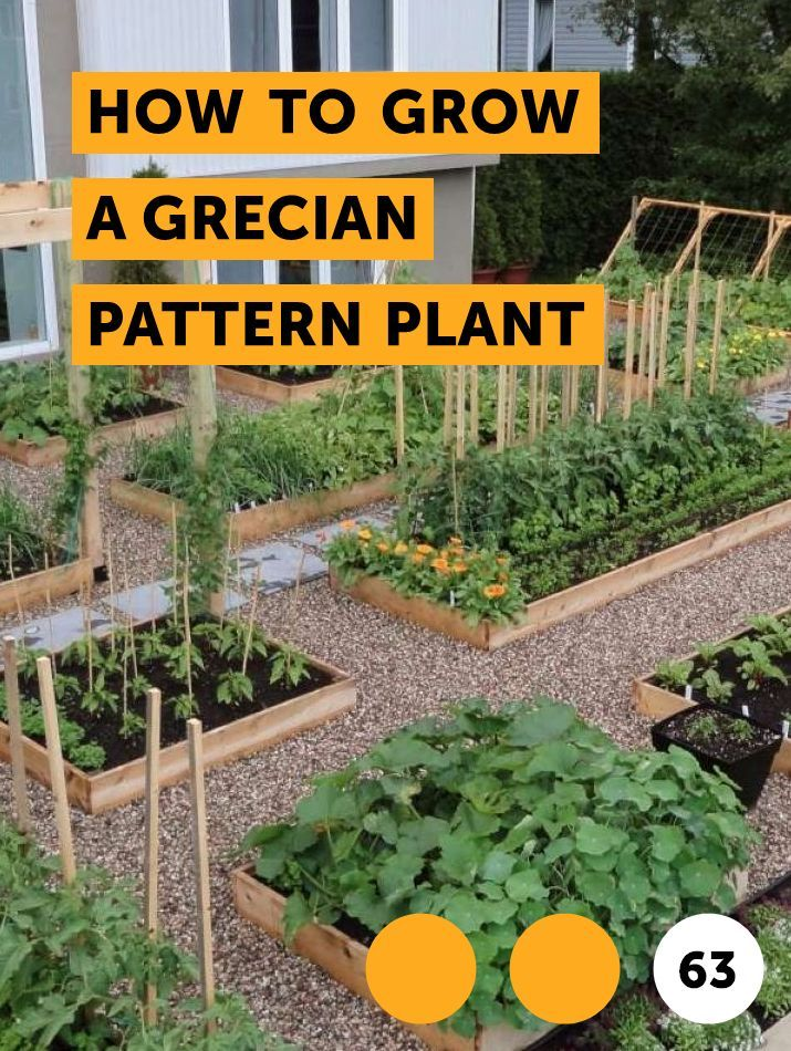 How To Grow A Grecian Pattern Plant The Grecian Pattern Plant Or