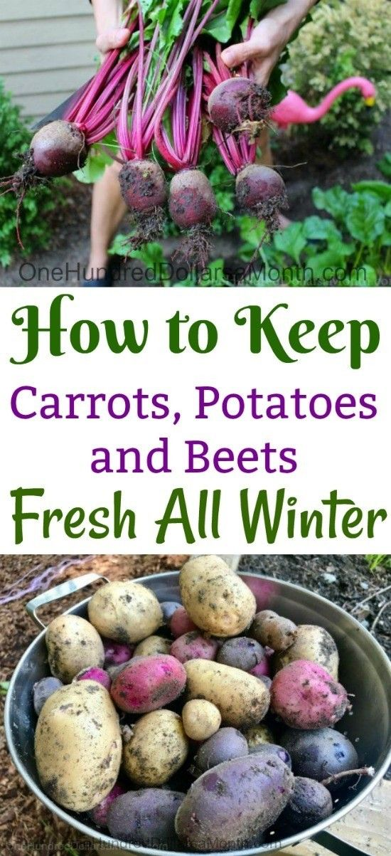 Learn how to keep beets carrots and potatoes fresh through winter. One of more important parts of growing your own vegetables in your garden is figuring out how you are going to make them last after you have harvested your produce at the end of growing season. This is where you need to know something about long-term