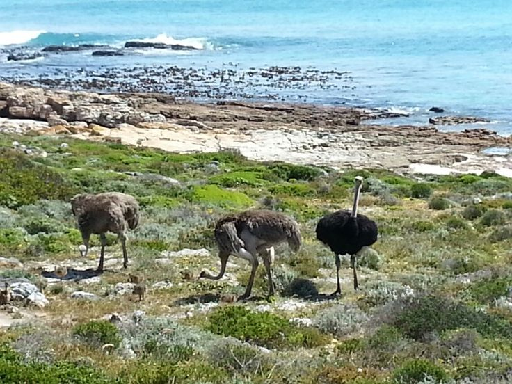 Ostrich family with chicks at tge Cape of Good Hope.  South Africa.