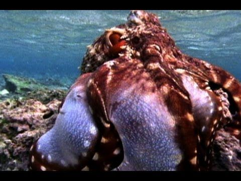 Amazing Octopus Color Transformation - YouTube (Cephalopods, Leson 10-- octopus camouflage & hunting)