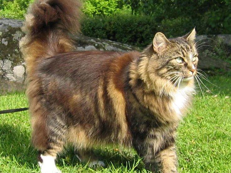 Norveç Orman Kedisi (Norwegian Forest) Geniş yapılı ve 3 - 9 kilo arasında değişen ağırlığa sahip kedilerdir. Büyük, üçgen bir baş yapısı ve küçük kare biçimli kulakları olan bu ırkın kedileri, yassı bir yüz ve düz bir buruna sahiptir. Küçük ancak güçlü ve yuvarlak bir çeneye sahip olan Norwegianlar kaslı yapılarıyla, Main Coon'u andırırlar. Dışa dönük, dik kulakları ve geniş, yuvarlak patileri vardır. Uzun ve yumuşak tüylere sahip olan bu kedilerin tüyleri boyun kısmında