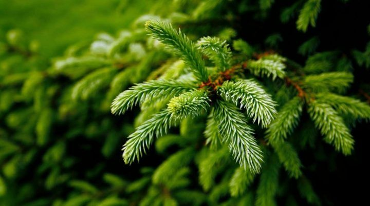 Pine Essential Oil Uses