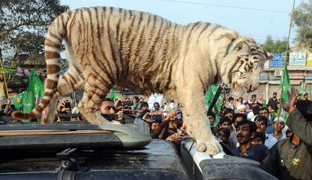 31/03/2012 17h54 - Atualizado em 31/03/2012 17h59  Protesto contra cortes de energia no Paquistão leva tigre às ruas  Multidão participou de manifestação contra cortes de até 16 horas por dia.  Produção de eletricidade do país não supre demanda, diz companhia