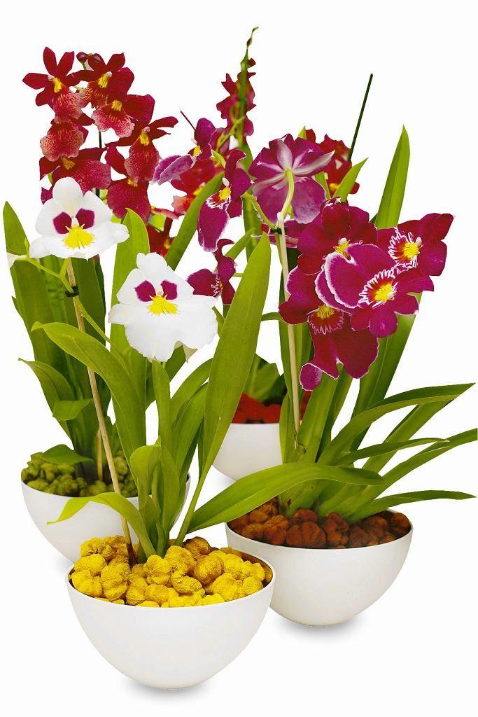 10 Sprawdzonych Gatunkow Storczyki Miltonia Beautiful Orchids Miltonia Orchid Orchid Plants