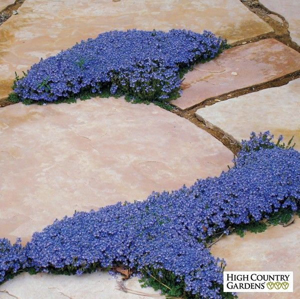 Thyme leaf speedwell is a beautiful, tenacious, small scale groundcover with thin stems of tiny evergreen leaves that cover themselves with blue flowers in early to mid-spring. This little beauty is an excellent crack filler between flagstone or pavers.