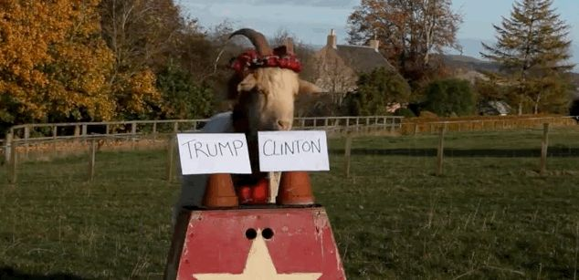 A Psychic Scottish Goat Has Predicted The Outcome Of The 2016 Election