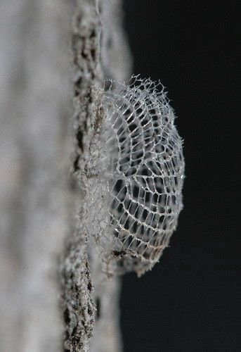Bumelia Webworm Moth cocoon. Photo by Seabrooke Leckie 2011  [from bugguide.net]