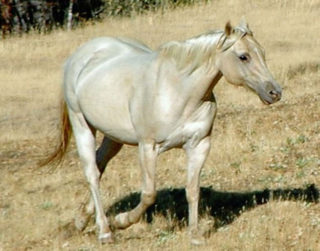 Quarter horse mare - gold dun champagne grulla. That's a lot of color genes!  photo: Cassidy Cobarr. quarter horses
