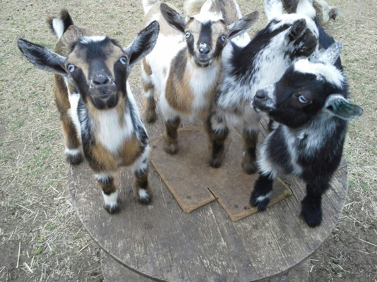 #goatvet suggest goat breeders read this blog about ...
