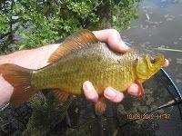 All Things Fishy: Beautiful Pond near Ilkeston after a big Crucian