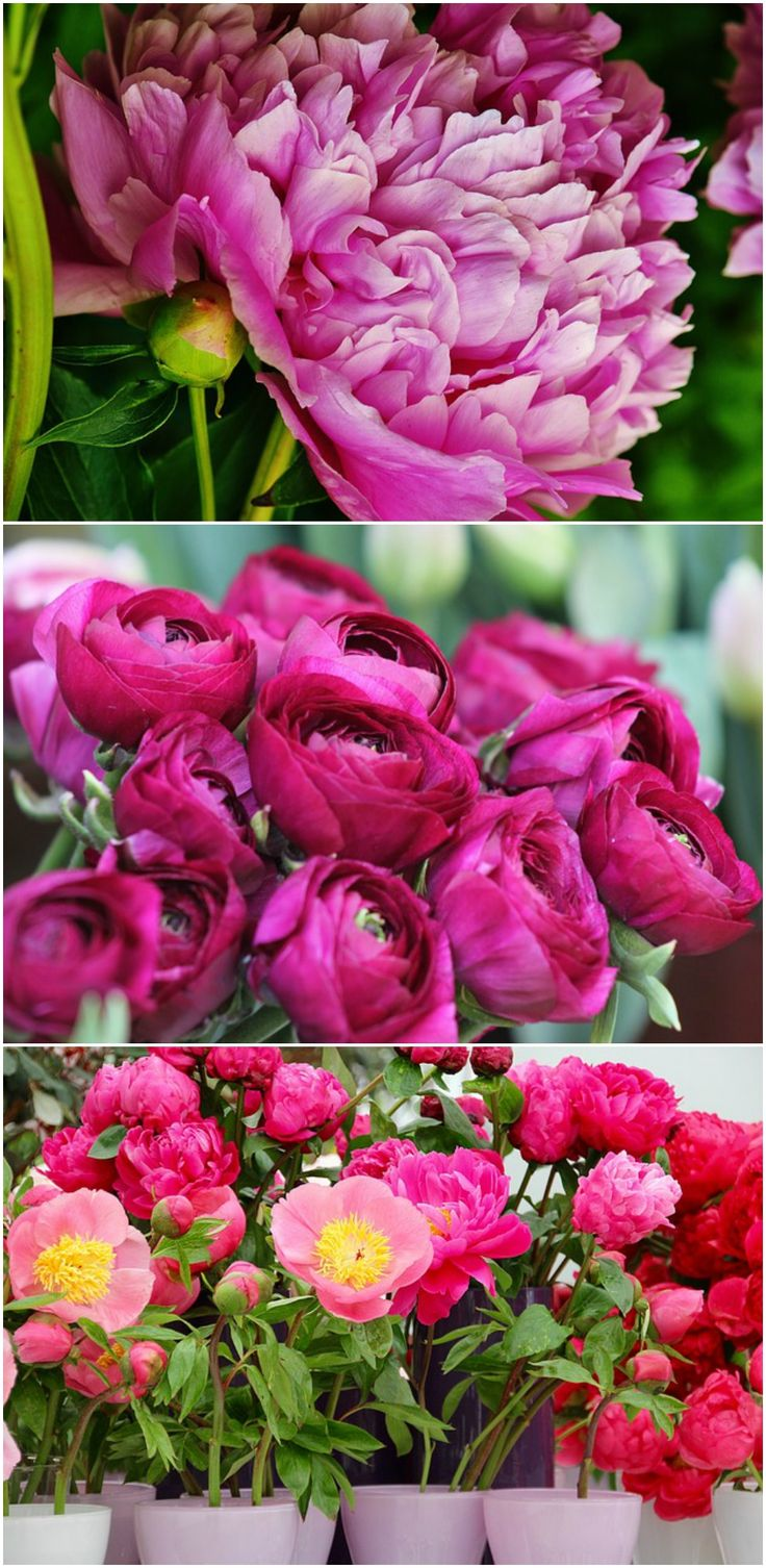12 facts about peony, the princess of the festive flowers