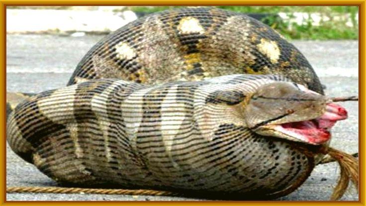 Best 25+ Anaconda attack ideas on Pinterest | Attack on ...