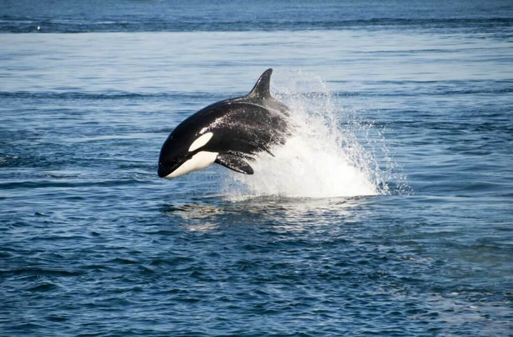 Corky could spend the rest of her life floating listlessly and swimming in circles. Tell SeaWorld to send her and the other orcas it's holding prisoner to seaside sanctuaries.
