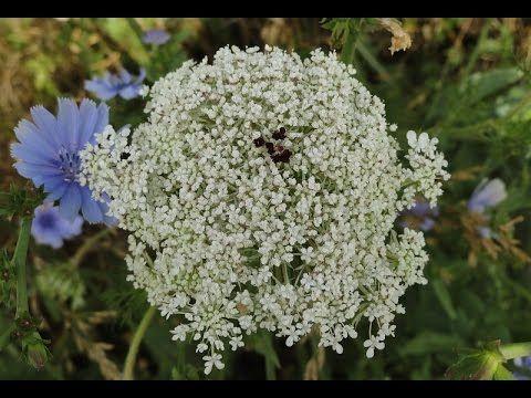 Съедобные растения. Цветущая дикая морковь / Dáucus caróta