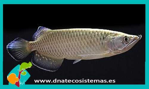 scleropages-jardini-arowana-jardinni-arowana-australiana-venta-de-peces-online-tienda-de-peces-tienda-de-acuarios-peixe-poison-online-dnatecosistemas