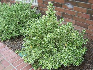 Front left, bed by house.  Marble Queen Coprosma (Coprosma repens 'Marble Queen')