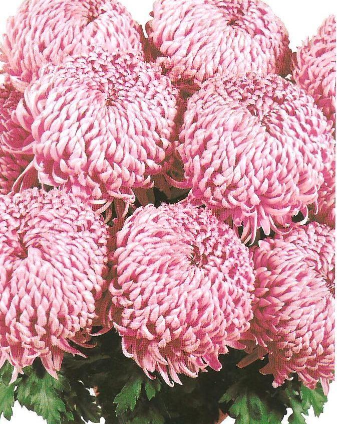 Flori De Ghiveci | crizantema floare mare roz 001 | Flori la ghiveci