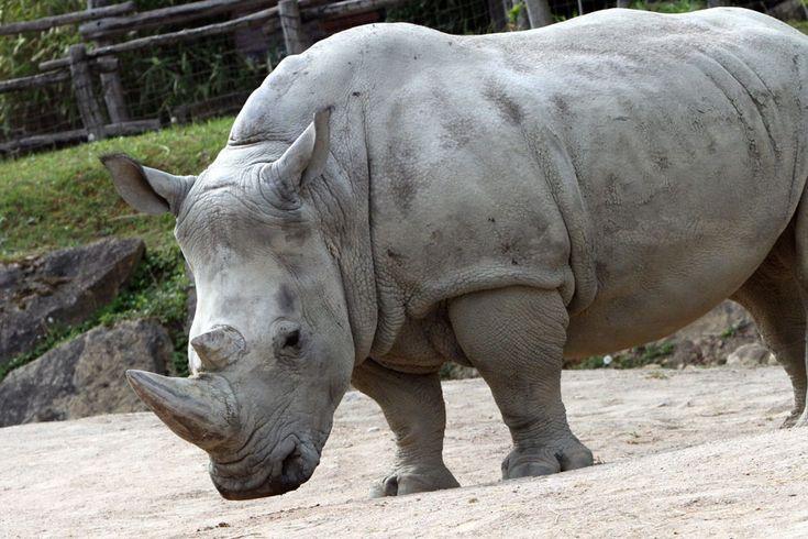 UN RHINOCÉROS ABATTU AU ZOO DE THOIRY, SA CORNE SCIÉE PAR DES INTRUS Le braconnage d'un rhinocéros dans un zoo des Yvelines met en émoila France. Cetacte d'une froide violence a été perpétré en raison de lavaleur de la corne de l'animal sur le marché. C'est un événement exceptionnel dans un zoo européen. Un rhinocéros blanc(Ceratotherium simum... https://www.unidivers.fr/rhinoceros-abattu-zoo-de-thoiry-corne-defense/ https://www.unidiver