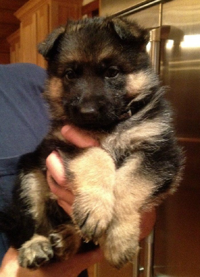 You know I love the German Shepherds and this one here from Florida is breath taking...    http://dogculture.net/puppies-for-sale/purebred-german-shepherd-puppies-for-sale-647.htm