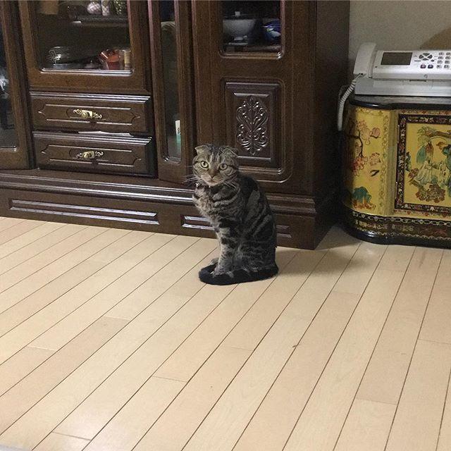 今日も部屋がクッソ寒かったゾ。 誰もいねーし😿 #スコティッシュフォールド #スコティッシュ #scotishfold  #猫 #cat #愛猫 #にゃんこ #にゃんだふる #mycat #CatPic #CatPhoto #今シーズンはほんと試される北の大地❄️