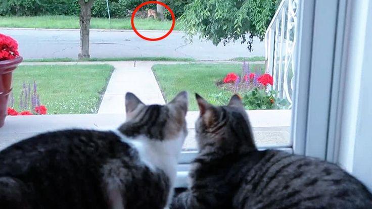 C'è un cervo che si aggira in una zona verdeggiante della città. Un uomo riesce a filmarlo e nel contempo spettatori di questo ospite inatteso ci sono anche i suoi due gatti che sembrano essere interessati a fare amicizia. ° twitter@fulviocerutti °