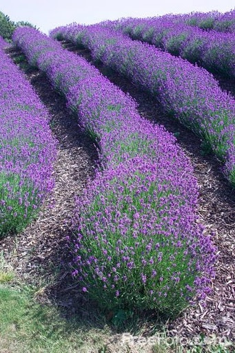 I have always wanted to go to a lavender farm