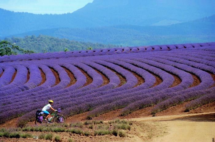 #biking through #Bridestowe Lavender Farm, #Tasmania, Australia.