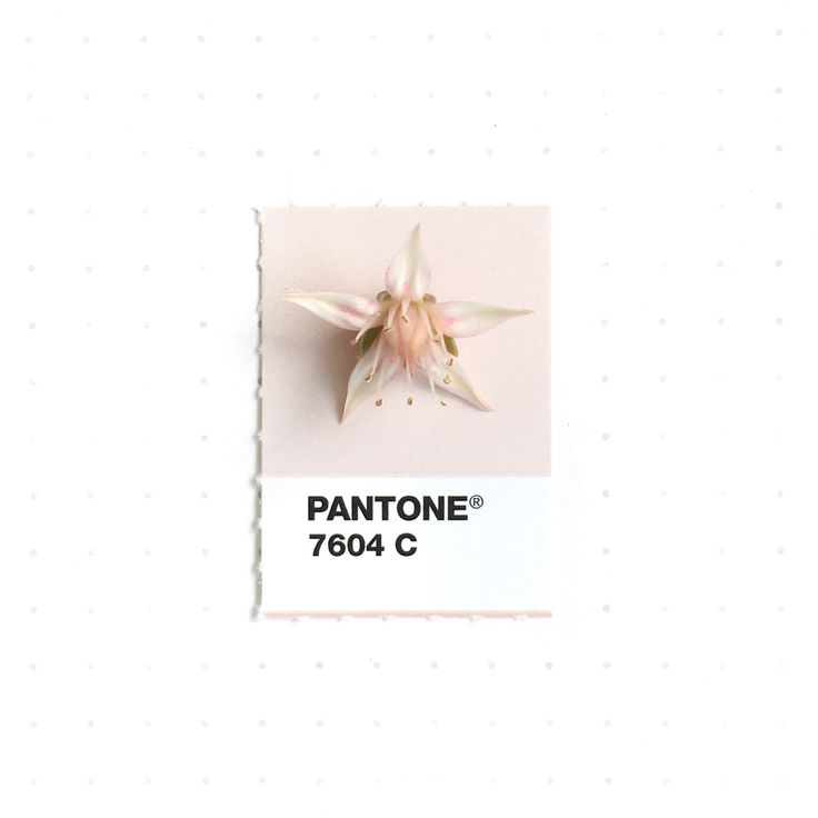Pantone 7604 color match. Echeveria flower. My Echeveria succulent is blooming right now
