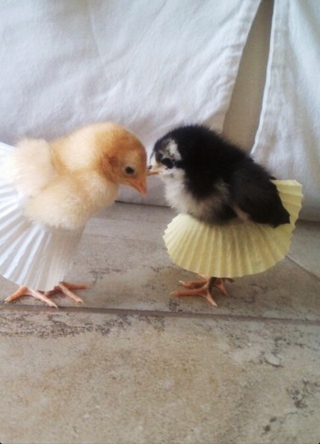...here is two baby chicks wearing cupcake liner tu-tus.