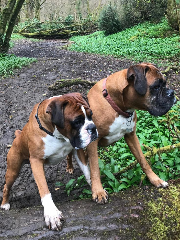 Boxer Energetic and Funny in 2020 Boxer dogs, Boxer