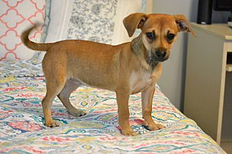 Southington, CT - Rat Terrier/Yorkie, Yorkshire Terrier Mix. Meet Cider, a puppy for adoption. http://www.adoptapet.com/pet/19402939-southington-connecticut-rat-terrier-mix
