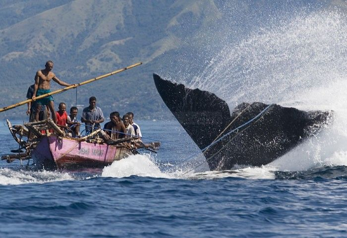Traditional Whale Hunters in Lamalera, Indonesia.
