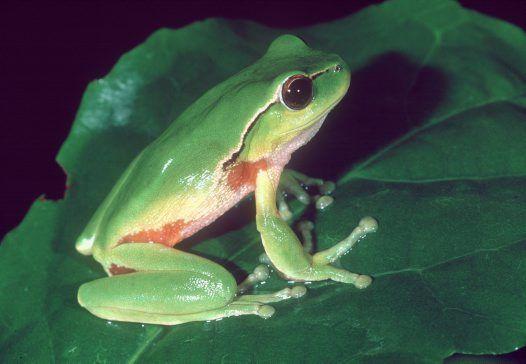 Australian Leaf Green Tree Frog
