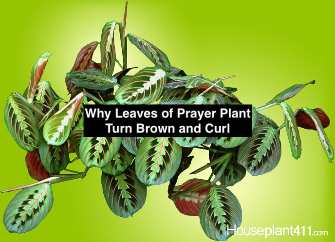 Why Leaves On Prayer Plants Turn Brown And Curl Prayer Plant Prayer Plant Care Plant Leaves Turning Brown